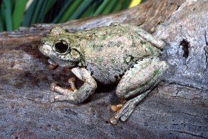 Peron's Tree Frog, Litoria peronii