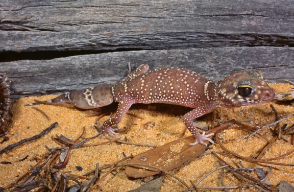 Thick-tailed Gecko, Underwoodisaurus milii