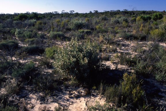 A sample of Mallee heath