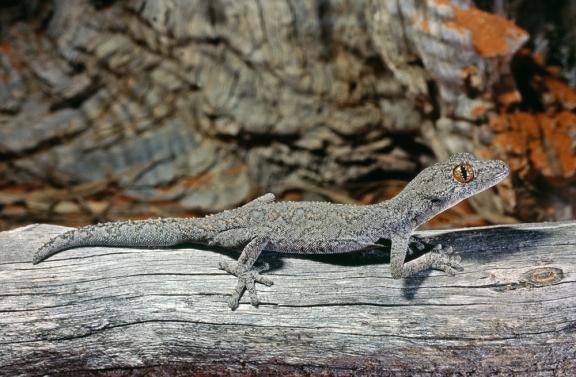 Eastern Spiny-tailed Gecko, Strophurus intermedius