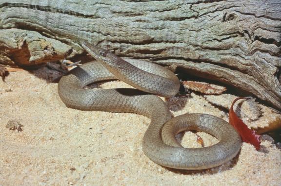 Burton's Legless Lizard, Lialis burtonis