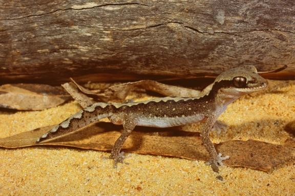 Wood Gecko, Diplodactylus vittatus