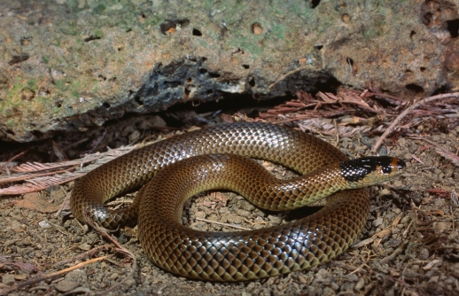 Little Whip Snake, Parasuta flagellum