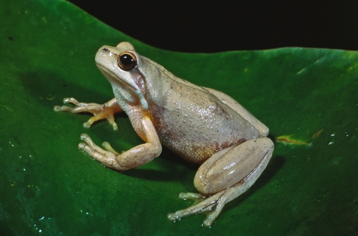 Brown Tree Frog, Litoria ewingii