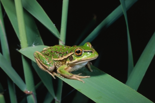 Growling Grass Frog, Litoria raniformis