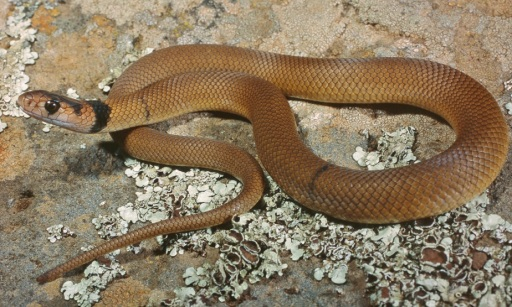 Common Brownsnake, Pseudonaja textilis