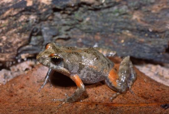 Common Froglet, Crinia signifera. Grampians National Park, Victoria