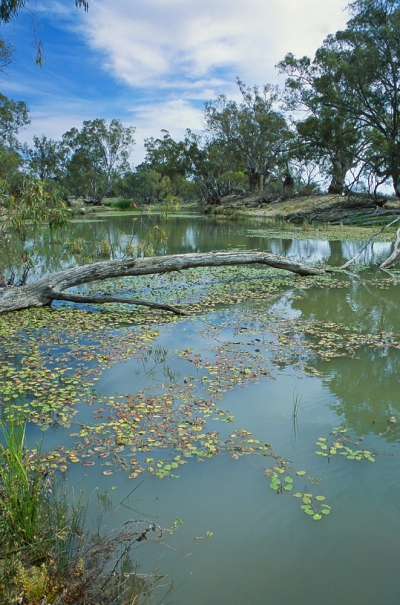 Water lillies (Potamogeton) in a desert oasis, Murray-Sunset NP, Victoria