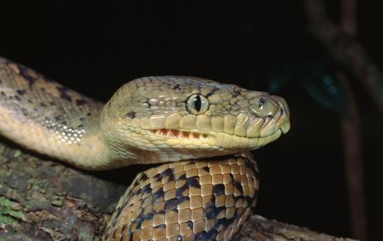 Carpet Python, Morelia spilota mcdowelli. Sunshine Coast hinterland, Queensland