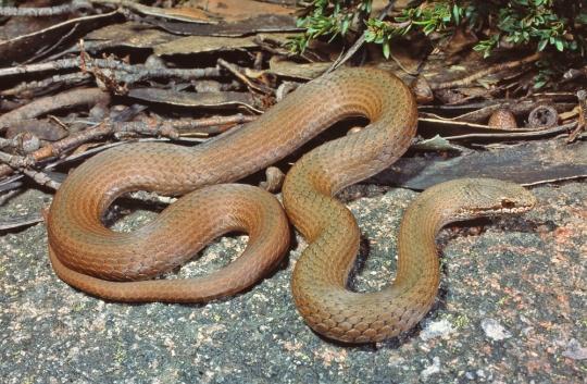 White Lipped Snake, Drysdalia coronoides. Mt Baw Baw, Victoria