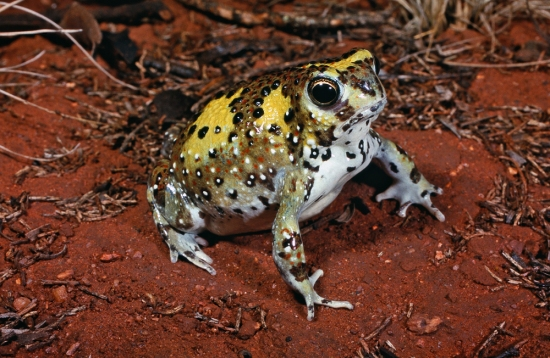 Holy Cross Frog, Notaden bennetti