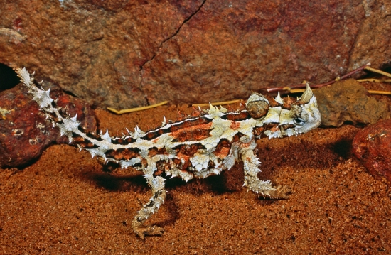 Thorny Devil, Moloch horridus