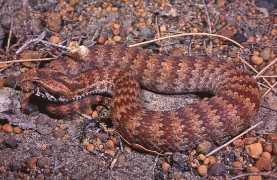 Common Death Adder, Acanthophis antarticus