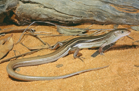 Ctenotus brachyonyx, Ouyen, Victoria