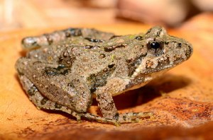 Northern Cricket Frog, Acris crepitans