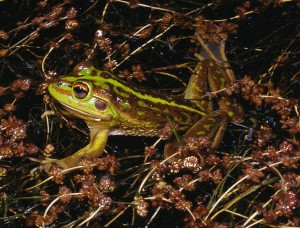 Growling Grass Frog, Litoria raniformis