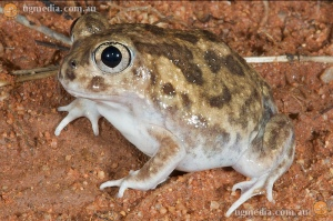 Sudell's Frog, Neobatrachus sudelii