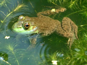 Common Bullfrog, Rana catesbeiana
