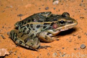 Southern Leopard Frog, Rana sphenocephala